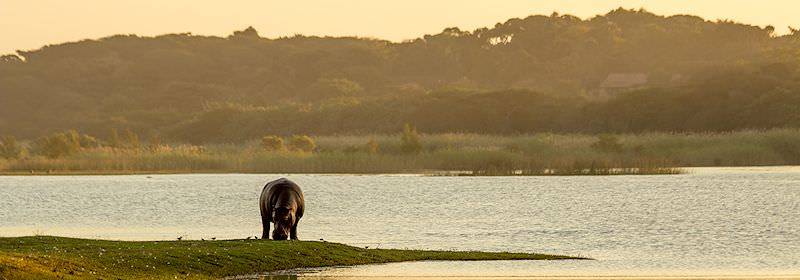 A hippo grazes on the banks of Lake St. Lucia in KwaZulu-Natal.