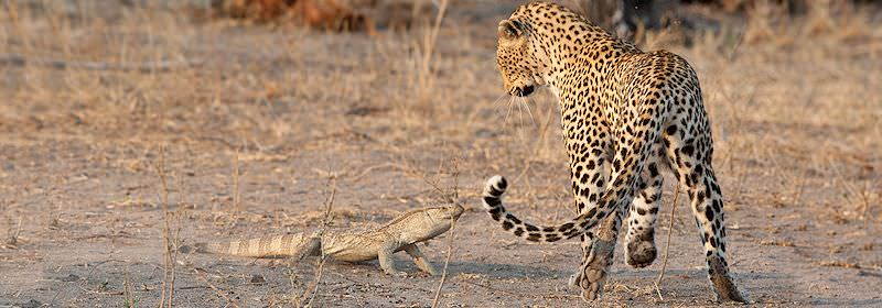 A leopard faces off against an aggressive rock monitor.