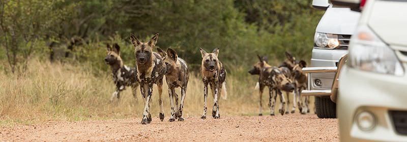 Vehicles pause alongside African wild dogs spotted in the Kruger National Park.