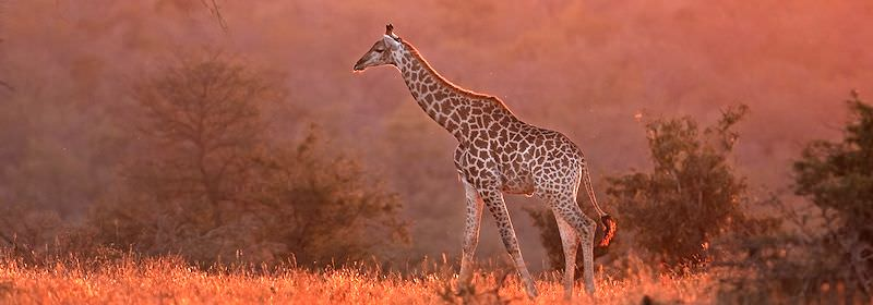 A giraffe is touched by the light of the setting sun.
