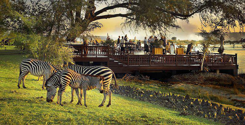 Zebras graze on the lawns of the Royal Livingstone Hotel on the banks of the Zambezi River.