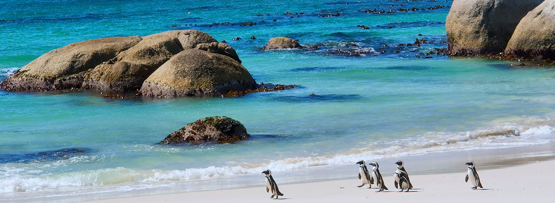 Penguins waddle along the pristine shores of Boulders Beach on the Cape peninsula.