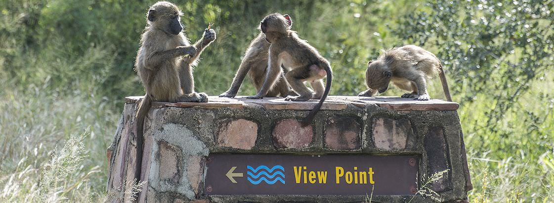 Young baboons sit on a sign indicating the direction of a view point in the Kruger Park.
