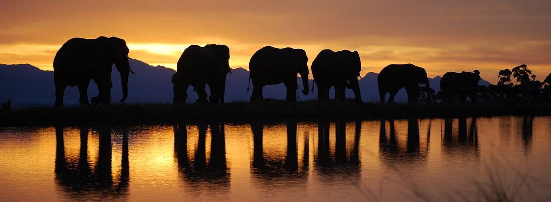 A sunset elephant walk at Knysna Elephant Park.