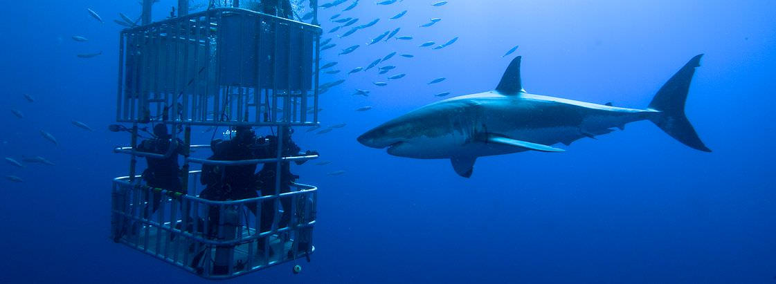 Great white sharks approach a diving cage in the Atlantic Ocean.