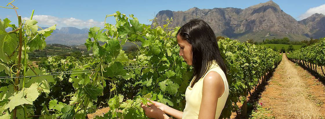 A woman inspects grapes in a vineyard on the Stellenbosch Wine Route.