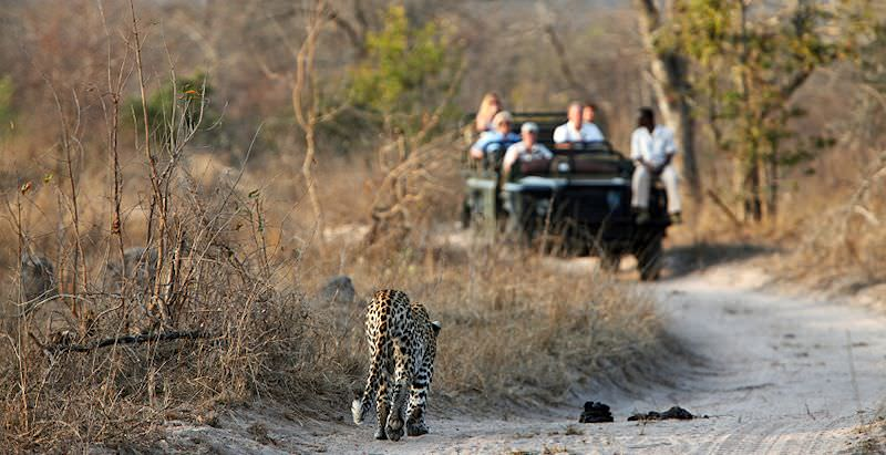 A safari vehicle pauses a few meters from a leopard.