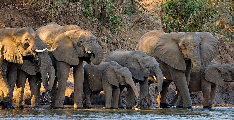 A herd of elephants drink from the Zambezi River.