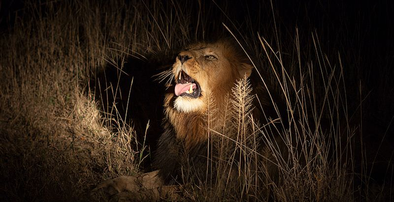 A spotlight falls on a male lion during a night safari in the Kruger Park.