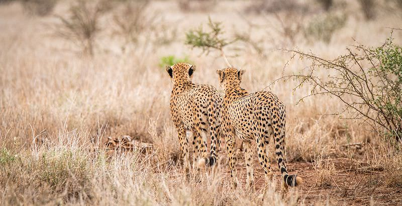 Cheetahs encountered on safari in the Kruger National Park.