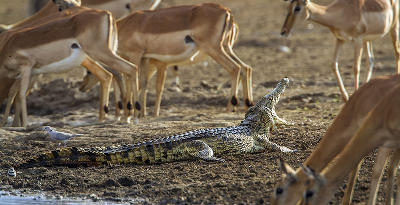 A crocodile basks on a river bank amidst a herd of impalas.