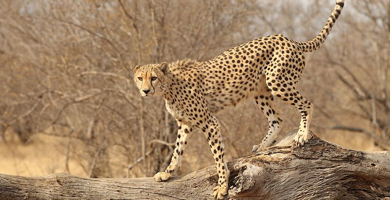 A cheetah spotted on safari in the Kruger National Park.