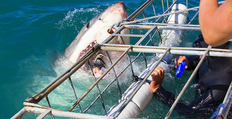 A great white shark grabs onto a buoy hanging from the boat.