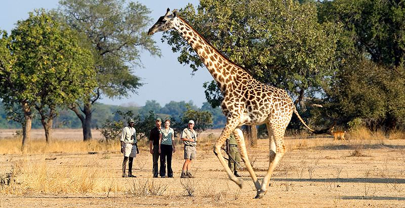 Guests on a walking safari in South Luangwa observe a passing giraffe.