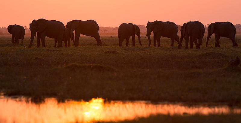Elephants on the banks of the Chobe River at sunset.