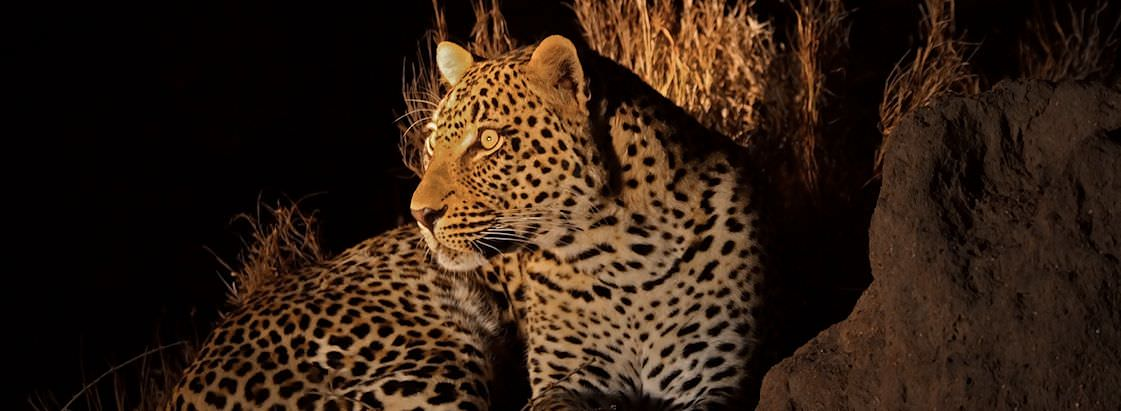 The spotlight of a night drive catches a leopard in its glow.
