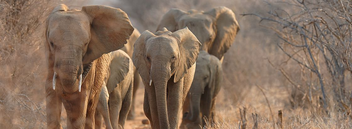 A herd of elephants wander through the wilderness of the Kruger Park.