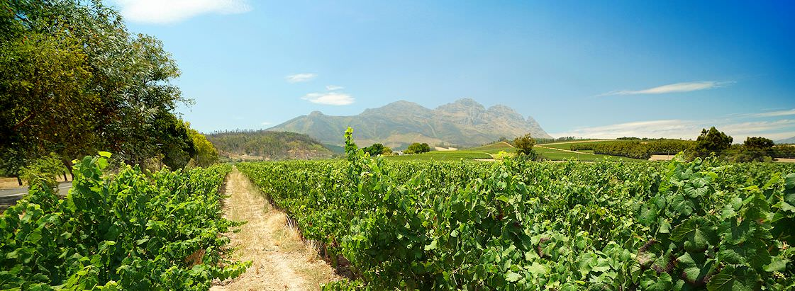 Lush rows of vineyards in South Africa's Cape winelands.