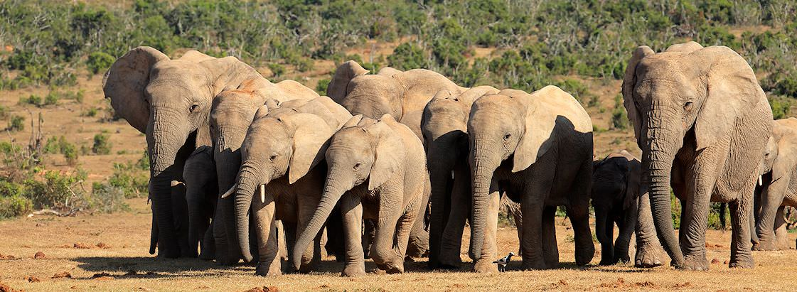 A sizable herd of elephants encountered on safari in Addo Elephant National Park.