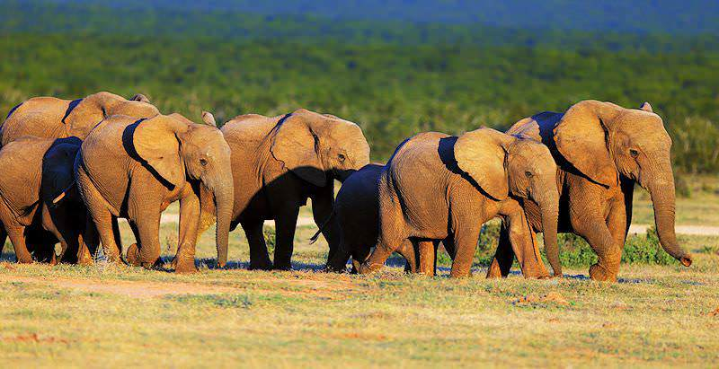 A herd of elephants wanders across the wilderness of Addo.