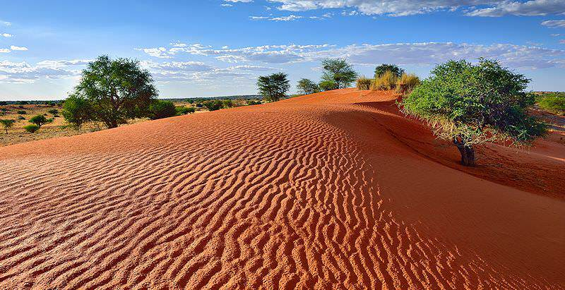 The vivid red dunes of the Kalahari sweeping around thorn trees.