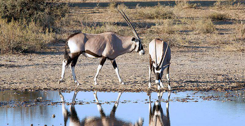 A pair of gembsok stop for a drink at a waterhole.