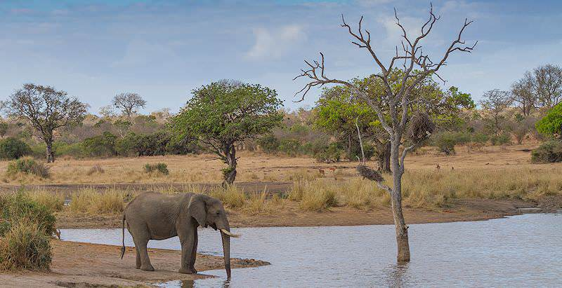 A lone elephant pauses to drink from a waterhole in Klaserie.