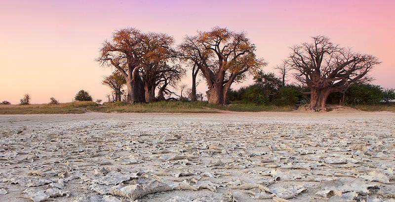 Baobabs erupt from the edges of the Makgadikgadi Pan.