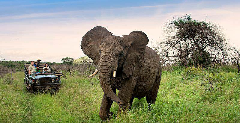 An elephant encountered on safari in Phinda Private Game Reserve.