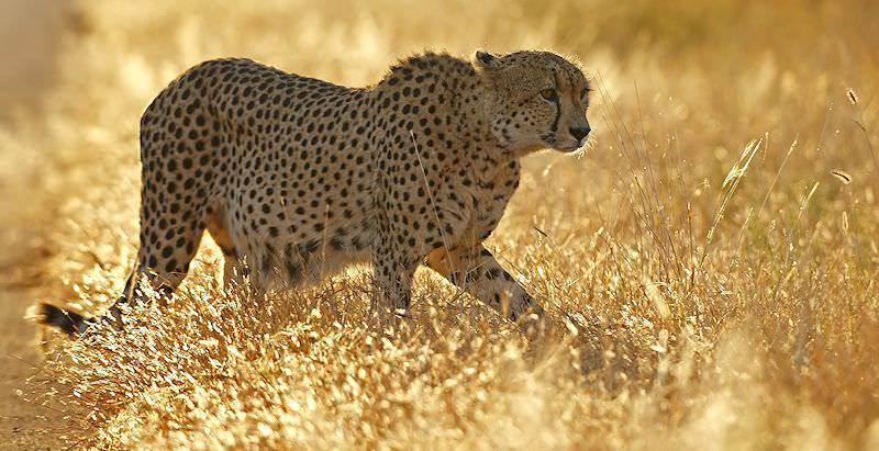 A cheetah spotted on safari in the Welgevonden Private Game Reserve.