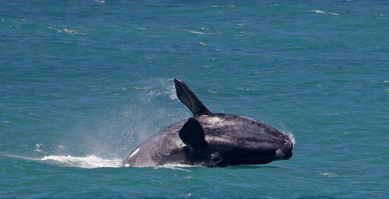 A southern right whale crashes onto its back after breaching from the Atlantic.