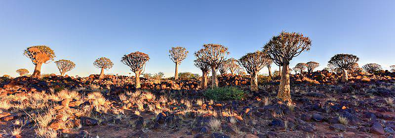 Quiver trees burst from the soils of the Kalahari Desert in Namibia.