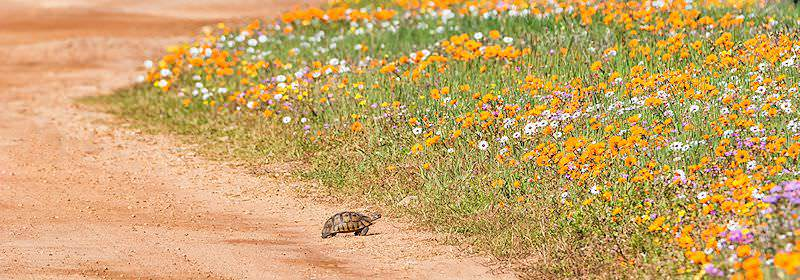 A tortoise prepares to cross the flower carpet of Namaqualand.