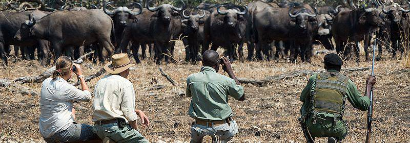Guests on a walking safari in South Luangwa encounter a herd of buffaloes.