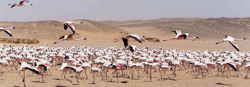 Flamingoes descend on the shores of Walvis Bay.