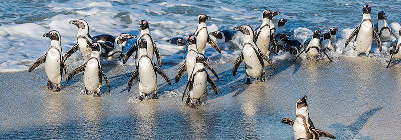 The endangered African penguins of Boulders Beach in the Table Mountain National Park.