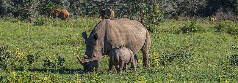 A rhino and her calf grazing in the Welgevonden Private Game Reserve.