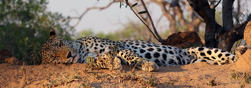 A leopard relaxes on a rise in the bush.