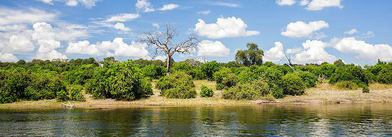 Vegetation typical of the banks of the Chobe River.