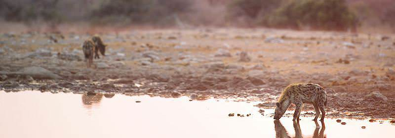 A hyena pauses for a drink in the early morning hours.