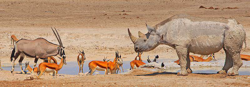 A black rhino and gemsbok drink from a waterhole with a herd of springbok.