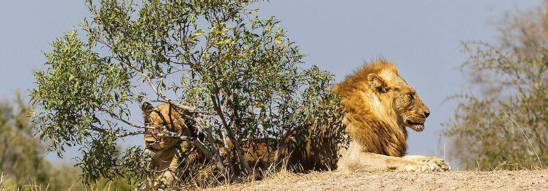 A pair of lions relax under the scanty shade of a small tree.