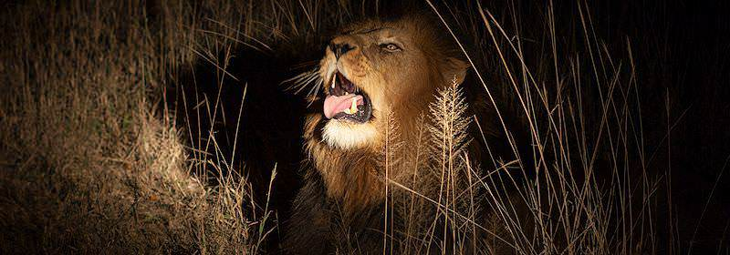 A large male lion prepares to roar.