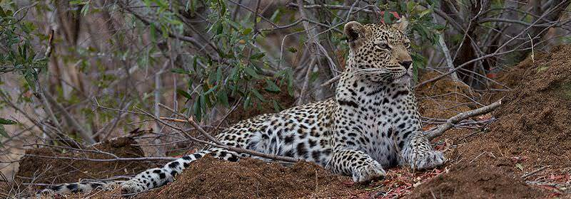 A leopard unwinds atop a collapsed termite mound.