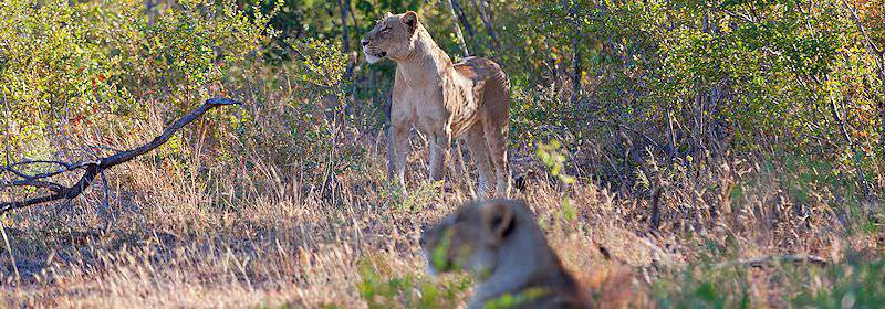 A pair of lionesses encountered on safari in Sabi Sand.