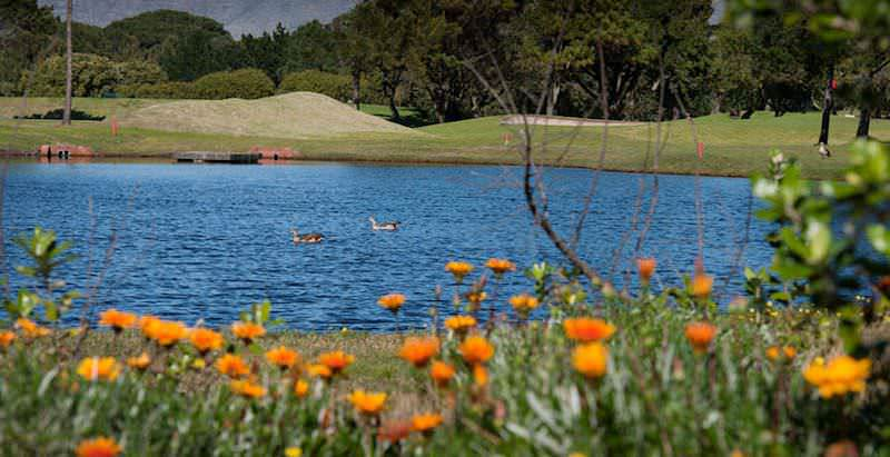 Egyptian geese swim in of the Royal Cape Golf Course's well-kept water hazards.