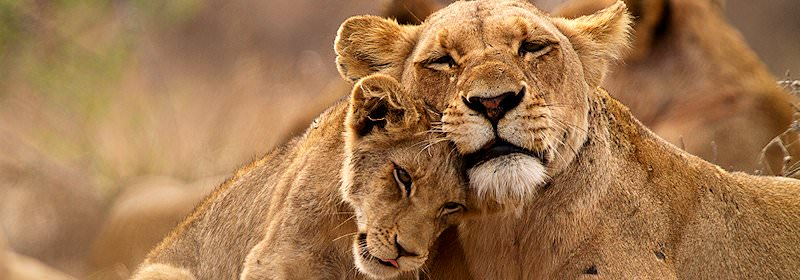 A lioness shares an affectionate moment with her cub.