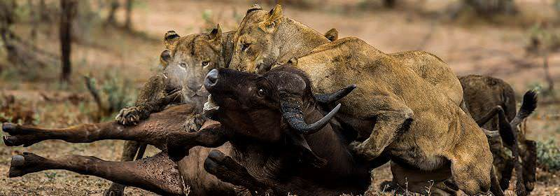 Lionesses take down a Cape buffalo.