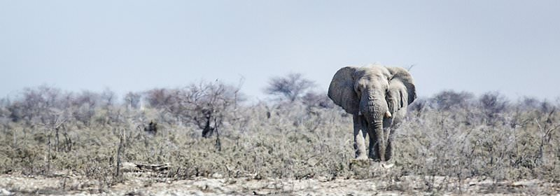 An elephant wnaders through the wilderness of Etosha National Park.