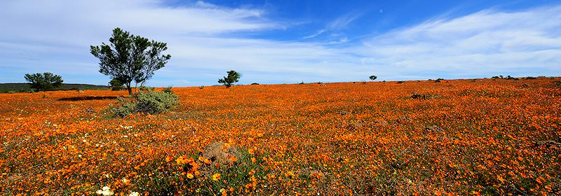 Spring flowers in bloom in the Namaqualand region.